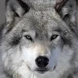 Wolf_hun avatar
